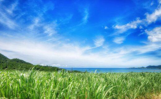 石垣島のさとうきび畑